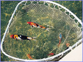 Photo showing treated water is clean enough to use in a Koi pond.